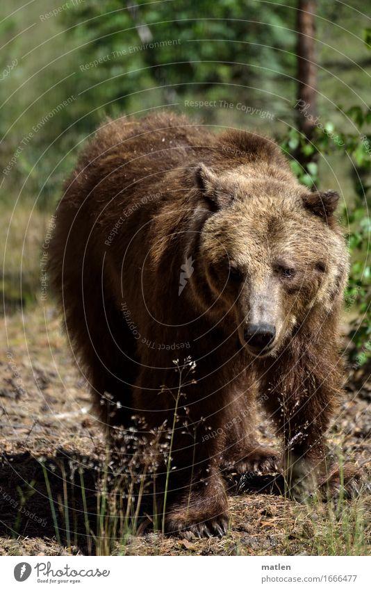 Wildwechsel Pflanze grün Landschaft Tier Wald Gras braun Wildtier laufen Fell Tiergesicht Krallen Bär