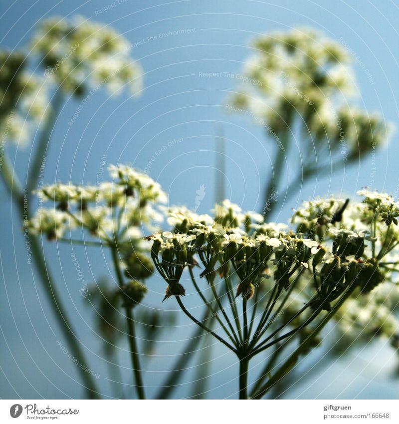 200 * fireworks! Natur Blume Pflanze Sommer Blüte Frühling Umwelt Wachstum Blühend Botanik Anschnitt Bildausschnitt himmelblau Gewöhnliche Schafgarbe