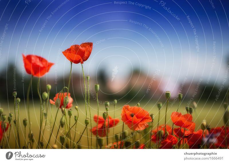 S U N M O H N F L O W E R Himmel Natur Ferien & Urlaub & Reisen blau Pflanze Sommer Sonne Landschaft Blume rot Blatt ruhig Wärme Blüte Frühling Wiese