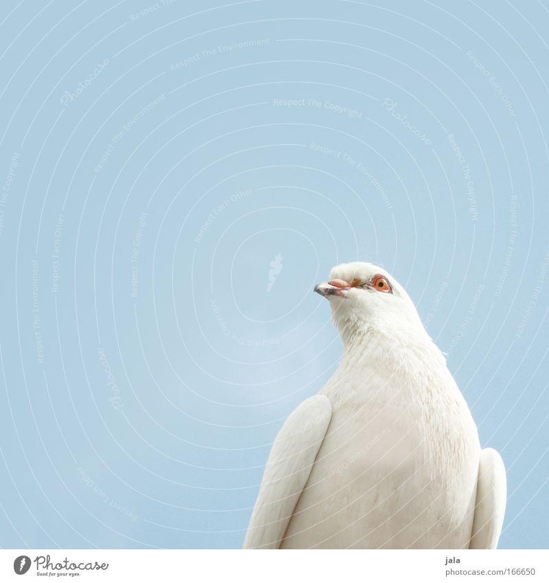 fröhliches Federvieh Farbfoto Außenaufnahme Nahaufnahme Menschenleer Textfreiraum links Textfreiraum oben Tag Tierporträt Blick in die Kamera Luft Himmel Vogel