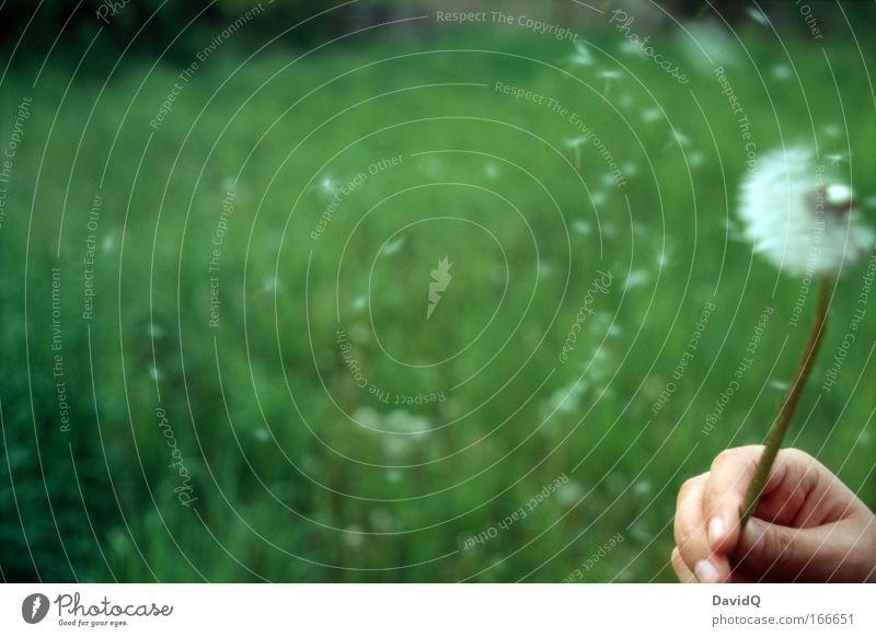 Löwenzahn Farbfoto Außenaufnahme Nahaufnahme Textfreiraum links Tag Glück Haut Hand Natur Pflanze Sommer Blüte Wildpflanze Wiese Blühend grün Freude blasen