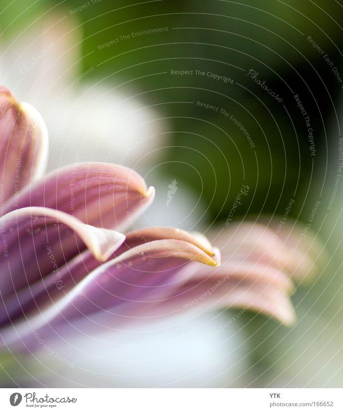 Alles Liebe, Margerite! Natur Pflanze Blume Umwelt Gefühle Frühling Blüte Stimmung rosa frisch Schönes Wetter Idylle Wassertropfen ästhetisch einzigartig Blühend