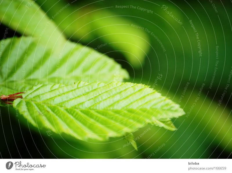 Fotosynthese Natur grün Baum rot Pflanze Blatt ruhig Umwelt Frühling Klima Ordnung frisch ästhetisch Idylle Vergänglichkeit Optimismus