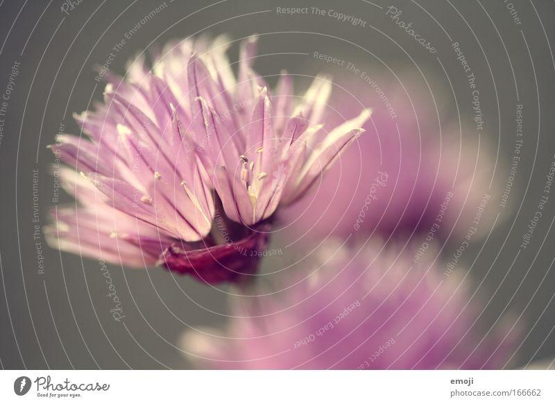 rosa Schnittlauch Farbfoto Außenaufnahme Nahaufnahme Detailaufnahme Makroaufnahme Hintergrund neutral Tag Sonnenlicht Gegenlicht Schwache Tiefenschärfe