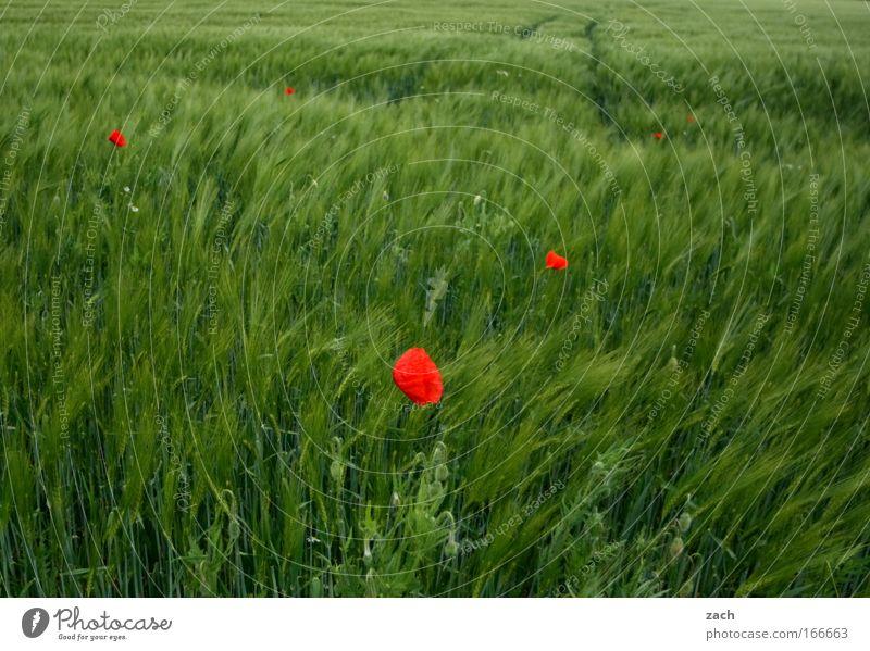 Rot in Grün Farbfoto Außenaufnahme Menschenleer Textfreiraum oben Textfreiraum unten Tag Sonnenlicht Unschärfe Bewegungsunschärfe Zentralperspektive Getreide