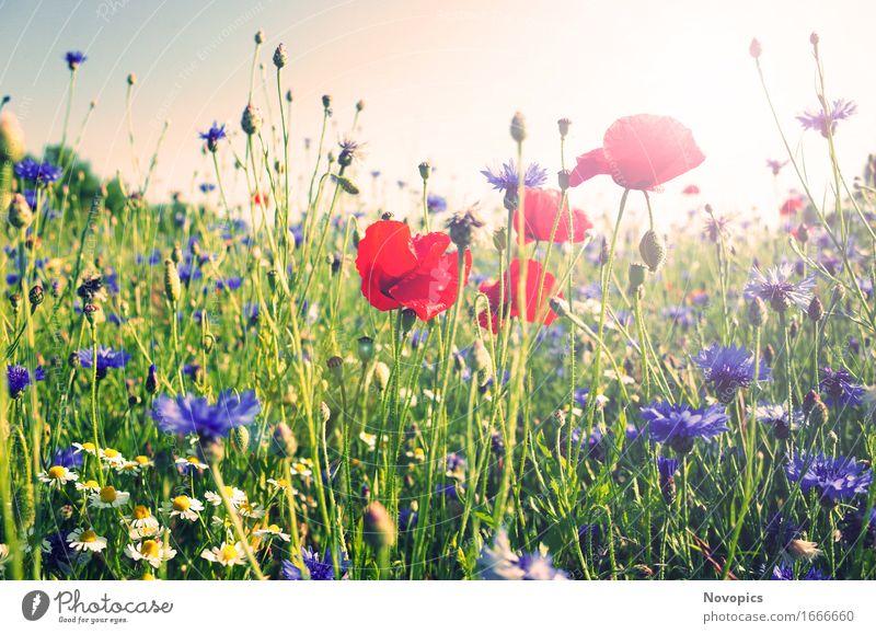 poppy in the field Natur Landschaft Pflanze Sommer Gras Wildpflanze Mohn Klatschmohn Wiese Feld rot Kornblume Kamille Bluehstreifen Bewegung Landscape