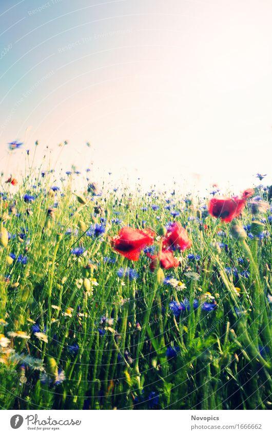poppy in the wind Natur Landschaft Pflanze Sommer Wind Gras Grünpflanze Wildpflanze Wiese Feld rot Mohn Klatschmohn Kornblume Kamille Bluehstreifen Bewegung