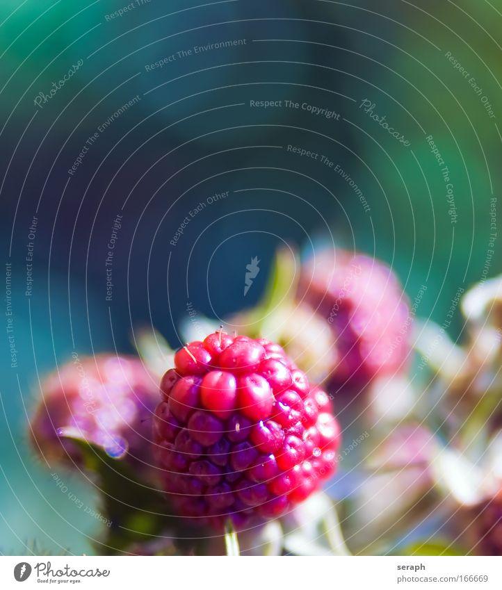 Himbeere Himbeeren Frucht Beeren Garten fruchtig fruit head seed bloom blur Ast Pflanze Lebensmittel rubus fructicosus scratching berry thorn berry