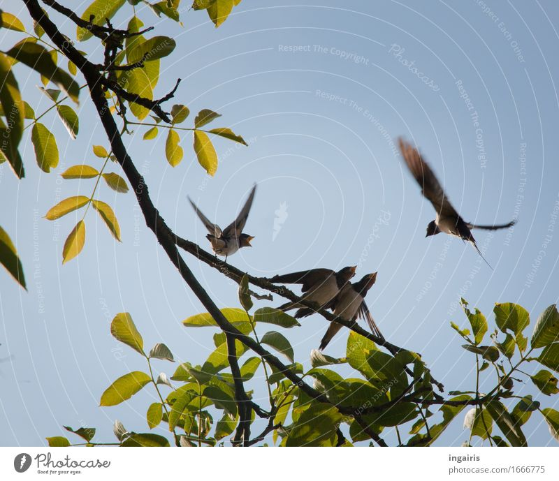 Flügge Natur Pflanze Tier Frühling Sommer Baum Blatt Wildtier Vogel Flügel Rauchschwalbe Schwalben 4 Tierjunges Tierfamilie Bewegung fliegen Fressen füttern