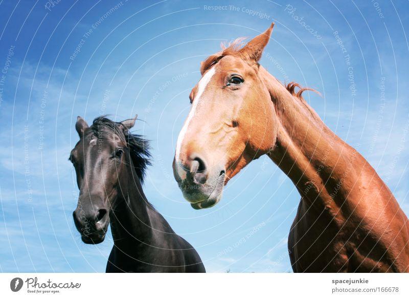 Ab und davon Farbfoto Außenaufnahme Tierporträt Blick Pferd Tiergesicht 2 Tierpaar Brunft beobachten Bewegung ästhetisch elegant rebellisch wild Glück