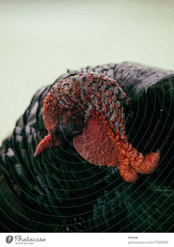 TrUTHAHN Lebensmittel Fleisch Ferien & Urlaub & Reisen Tourismus Ausflug Abenteuer Zoo Umwelt Natur Sommer Zürich Tier Haustier Nutztier Flügel Truthahn Feder 1
