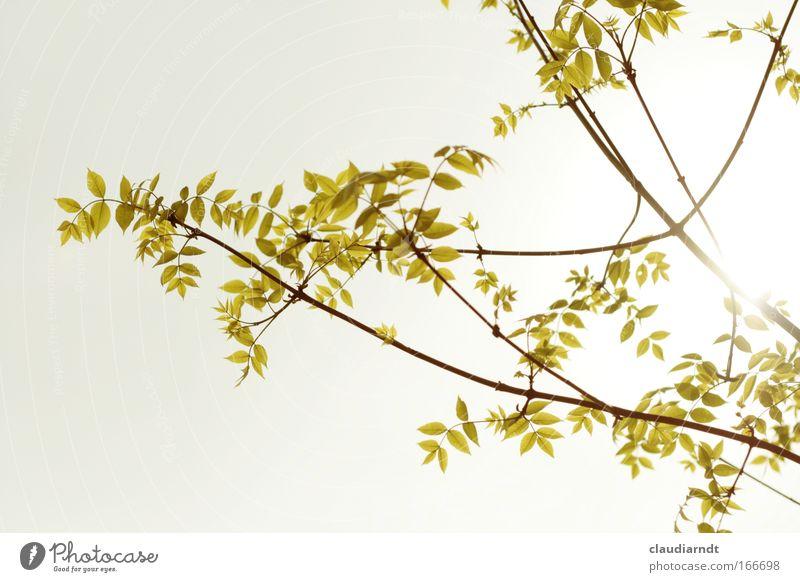 Verzweigt Natur schön Baum Sonne grün Pflanze Blatt Leben Frühling Umwelt ästhetisch Wachstum Wandel & Veränderung Frühlingsgefühle
