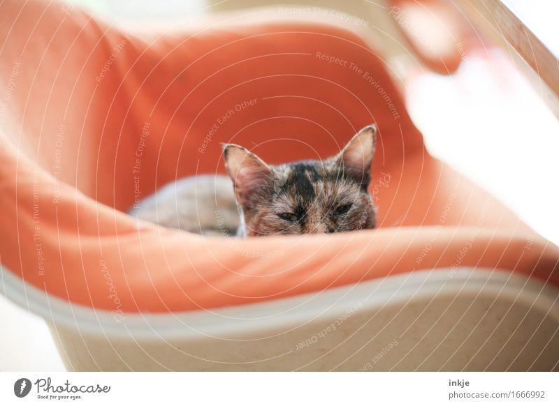 Glückskatze Lifestyle Häusliches Leben Wohnung Sessel Stuhl Haustier Katze Tiergesicht glückskatze 1 hocken Blick sitzen klein Neugier niedlich orange Gefühle