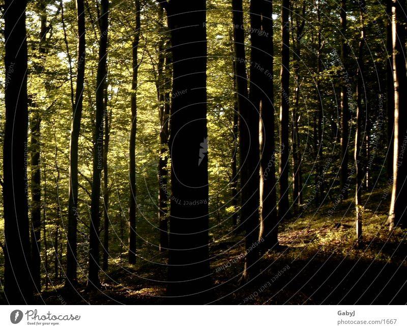 Waldlicht3 Baum Licht dunkel unheimlich Holzmehl Sammlung Baumstamm gefährlich Phantasie lichtverhältnisse forest trees light darkness phantastic