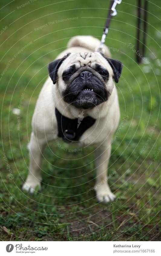 Kopf hoch Hund Sommer grün weiß Tier schwarz Wiese Gras Spielen klein Garten braun Park Freizeit & Hobby authentisch beobachten