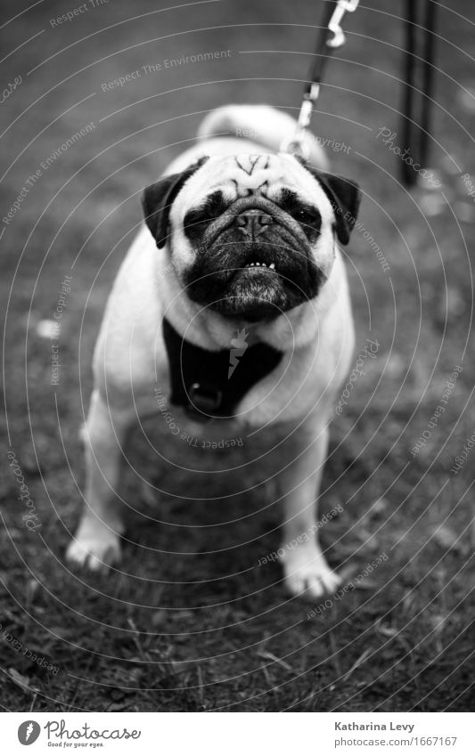 Kopf hoch sw Lifestyle Allergie Freizeit & Hobby Spielen Ausflug Gras Garten Park Wiese Tier Haustier Hund Mops 1 beobachten wandern klein Neugier niedlich