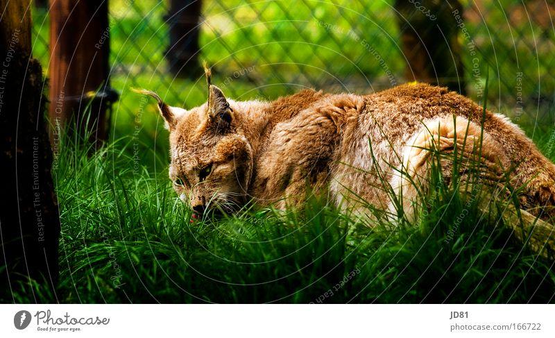 Luchs beim Mittagessen grün Tier Katze Park braun liegen wild Tiergesicht Wildtier beobachten Fell Zoo hören Fressen