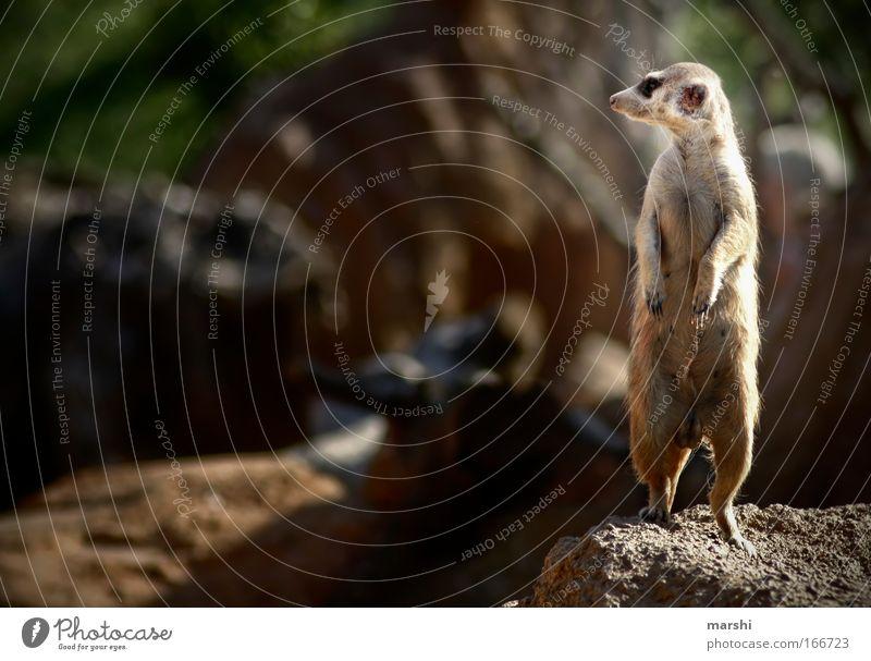 auf der Lauer, auf der Lauer... Natur Sommer Freude Tier Erde braun Felsen Freizeit & Hobby Perspektive stehen Körperhaltung beobachten Fell Tiergesicht Zoo Wachsamkeit