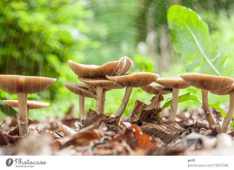 mushrooms in natural ambiance Natur Pflanze Wald Hut Wachstum braun Pilz flachwinkel gruppe lamellen grund pilzbefall Jahreszeiten kappe ausschnitt Biologie