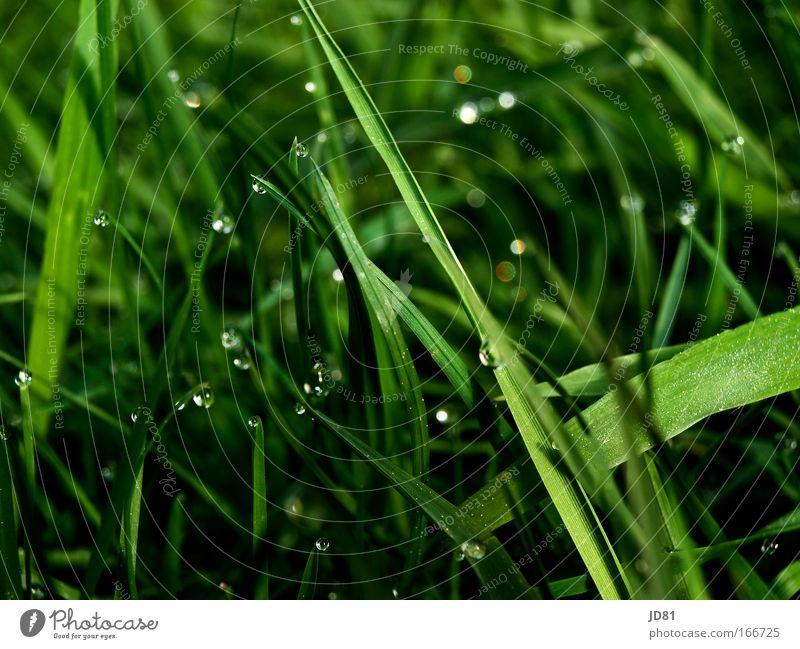 Diamanten der Natur Pflanze Leben Gras Frühling glänzend elegant ästhetisch grün Tau Wiese Nahaufnahme Glanzlicht grasgrün glanzvoll Graswiese