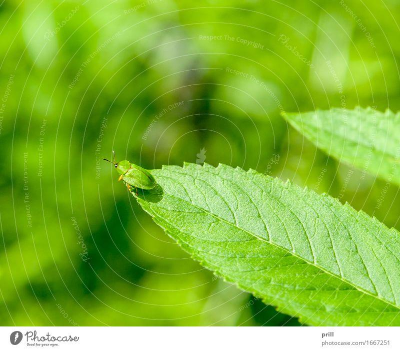 green tortoise beetle Sommer Natur Pflanze Tier Frühling Blatt Käfer grün grüner schildkäfer cassida viridis blattkäfer Insekt sonnig natürlich Botanik belaubt