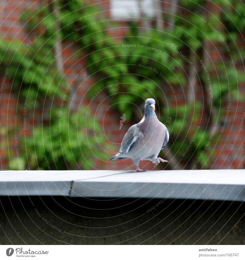 Die Taube auf dem heißen Blechdach Natur grün blau rot Tier Wand Frühling grau gehen Fassade Dach Flügel Backstein Balkon Geländer Terrasse