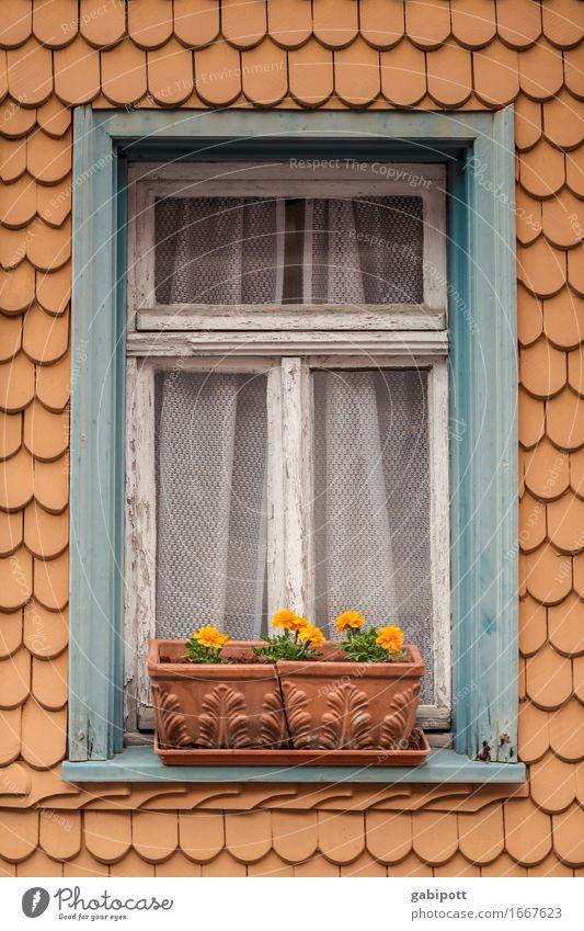 ASTern 9 Lifestyle Sommer Häusliches Leben Wohnung Haus Garten Blume Topfpflanze Astern Hessen Kleinstadt Fassade Fenster Blühend alt blau braun orange Idylle