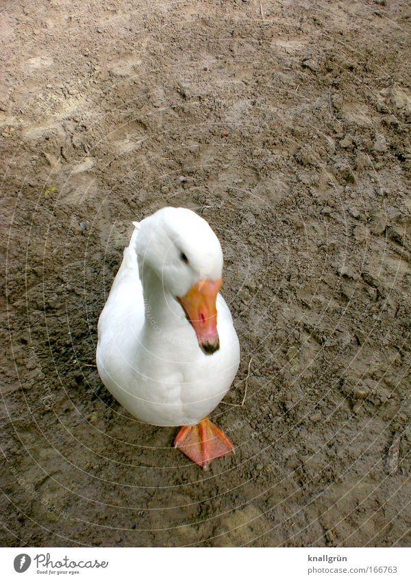 Schiefer Kopp und appes Bein weiß Tier braun Orange Vogel warten stehen Haustier Gans Nutztier Hausgans einbeinig