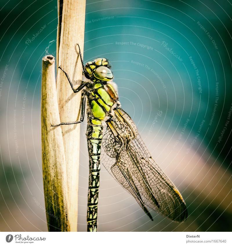 Im Licht Tier Wildtier Flügel 1 mehrfarbig gelb gold grün Libelle Libellenflügel Farbfoto Außenaufnahme Detailaufnahme Makroaufnahme Menschenleer