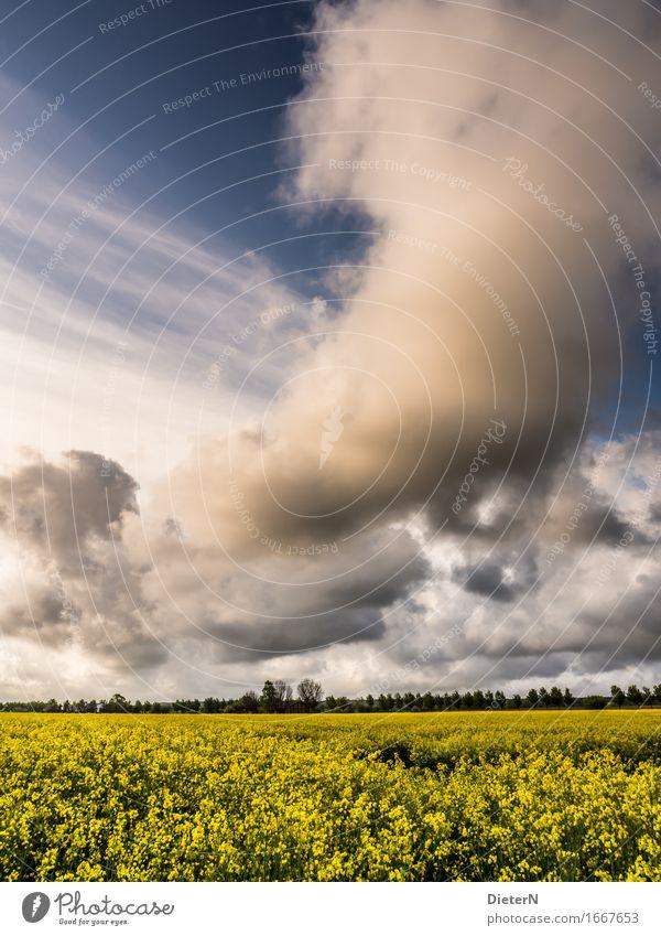 Gewitterfront Umwelt Landschaft Himmel Wolken Gewitterwolken Frühling Klima Wetter Schönes Wetter Pflanze Sträucher Nutzpflanze Feld blau gelb weiß Raps