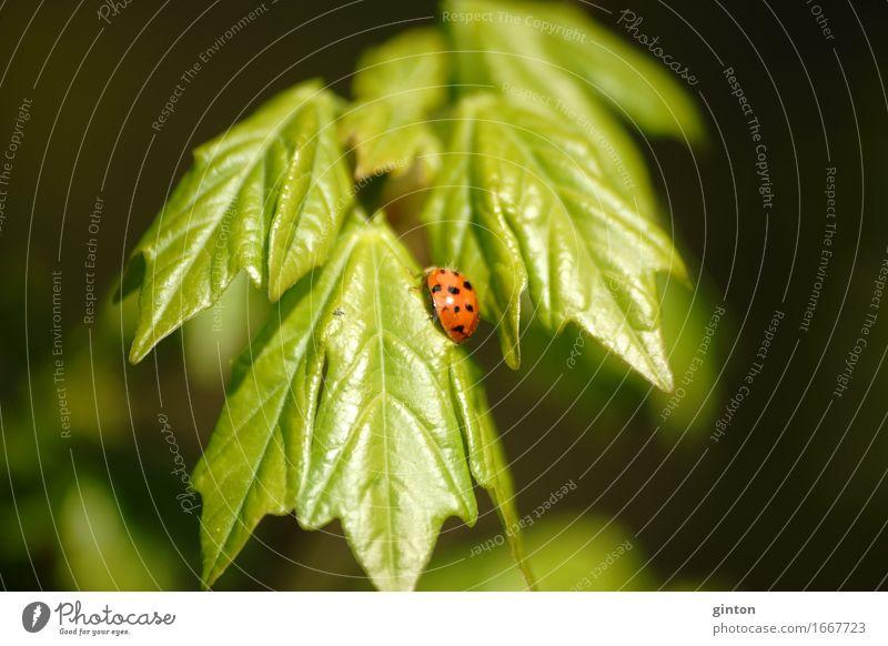Marienkäfer auf frischem Grün Natur Pflanze Tier Grünpflanze Wildtier Käfer 1 Fressen hell Insekt süß Wildleben Wildnis Triebe hellgrün gepunktet Punkt