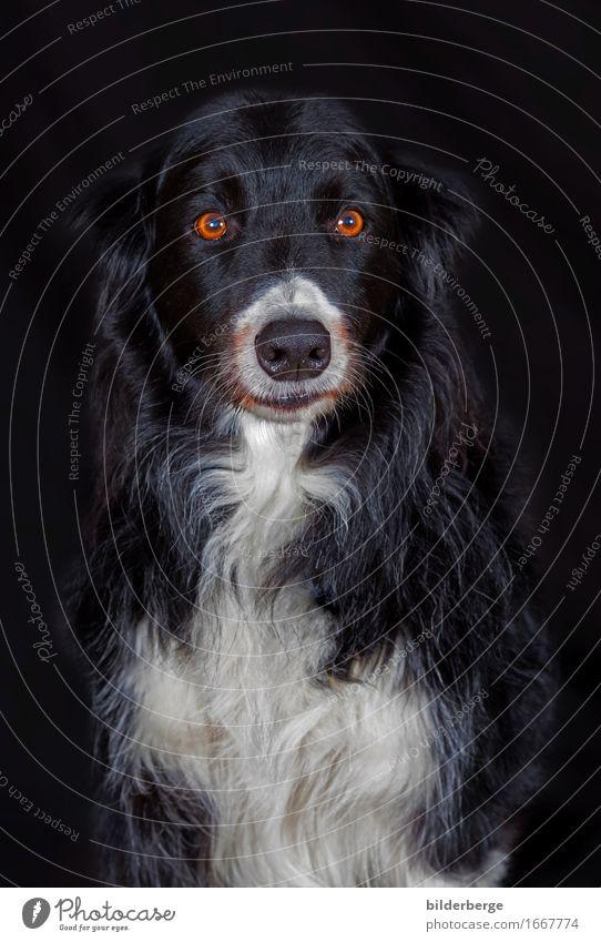 """Hund im Fotoatelier Lifestyle Natur Gefühle Portarit bilderberg Fotografie """"Leinwand Hintergrund"""" schwarz Auge weiß Farbfoto Studioaufnahme Porträt Tierporträt"""