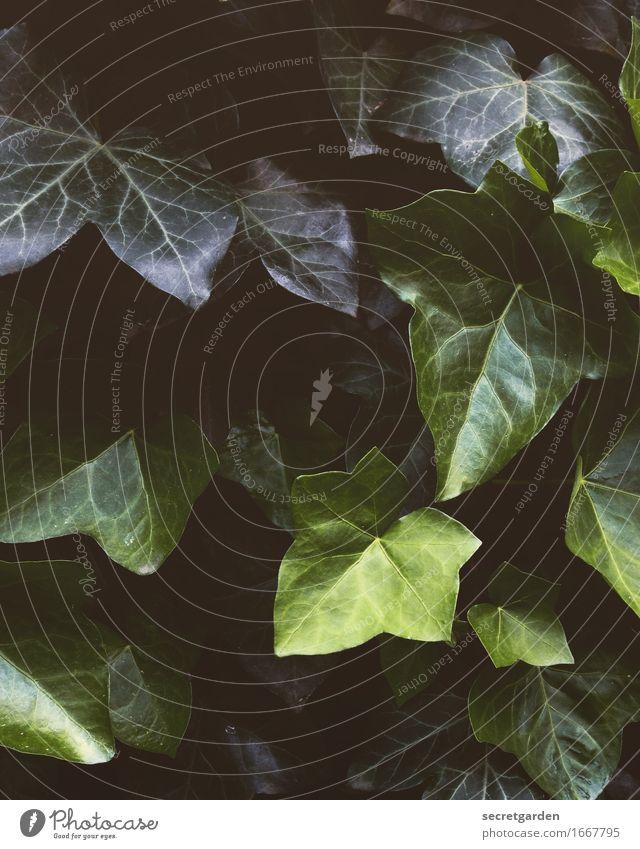 was grünes. Umwelt Natur Pflanze Sommer Efeu Blatt Grünpflanze dunkel glänzend Schutz Geborgenheit Zusammensein Wachstum bewachsen Blattschatten Blattgrün