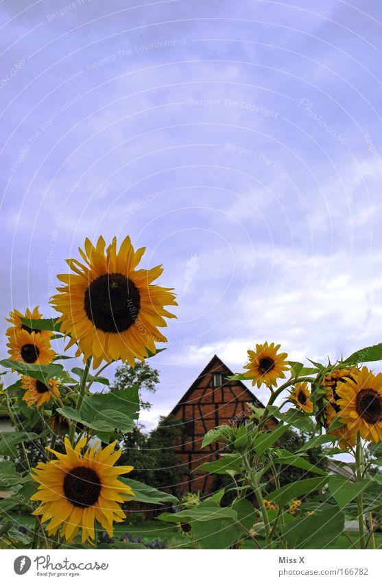 Hallo Sommer Sonne und Sonnenblumen Farbfoto mehrfarbig Menschenleer Textfreiraum oben Garten Pflanze Schönes Wetter Blume Blüte Park Wiese Hütte
