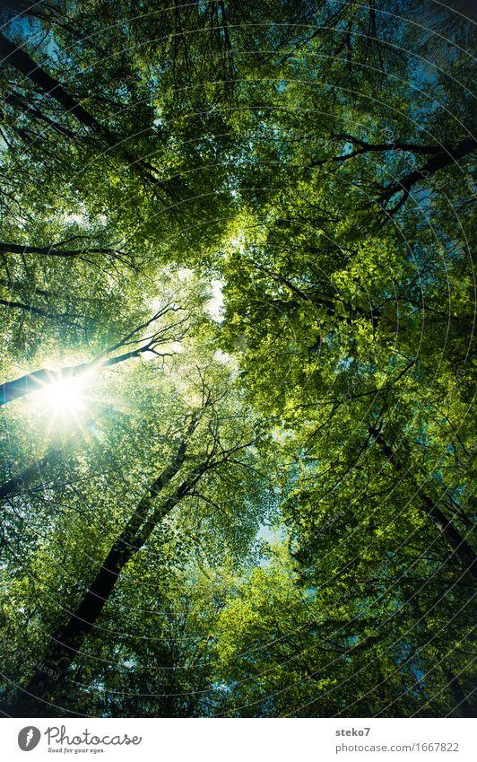 Sonnenschutz blau Sommer grün Baum Wald hell träumen Energie hoch groß Schönes Wetter Schutz Blätterdach himmelwärts Laubwald