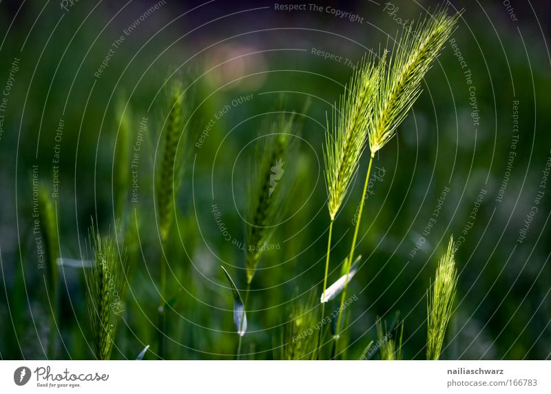 Ähren Natur grün Ernährung Gesundheit frisch Sauberkeit Getreide Idylle nachhaltig