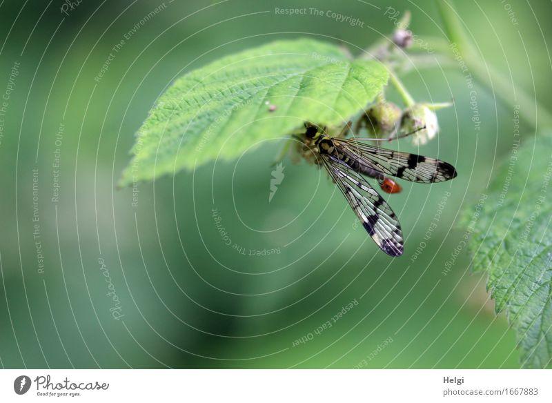 Skorpionsfliege Umwelt Natur Pflanze Tier Frühling Blatt Blütenknospen Wald Wildtier Fliege 1 festhalten ästhetisch schön einzigartig klein natürlich grau grün