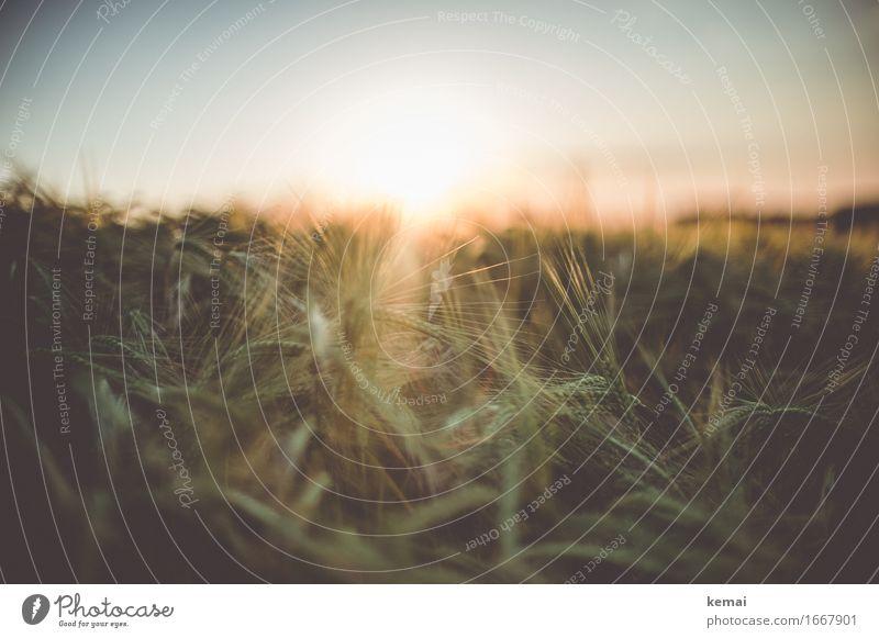 Golden light of home III Natur Pflanze Sommer schön Erholung ruhig Wärme Umwelt Freiheit Zusammensein wild leuchten Feld glänzend Wachstum authentisch