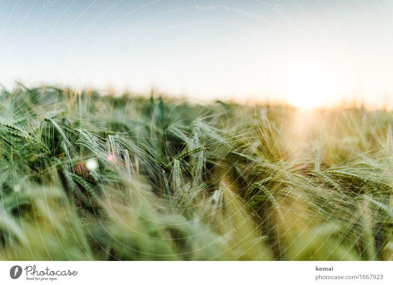 Wärmendes Licht Umwelt Natur Wolkenloser Himmel Sonne Sonnenaufgang Sonnenuntergang Sonnenlicht Sommer Schönes Wetter Pflanze Nutzpflanze Gerste Gerstenfeld