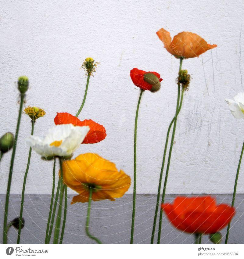 mohnblumenwald Farbfoto Menschenleer Textfreiraum oben Pflanze Frühling Blume Blüte Stengel Linie Blühend Wachstum dreckig dünn Gefühle Fröhlichkeit Kraft schön