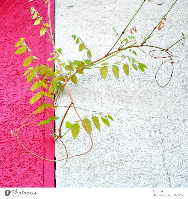 Knallt halt... weiß grün Pflanze Freude Haus Wand Architektur grau Mauer hell rosa Fassade ästhetisch verrückt Grünpflanze
