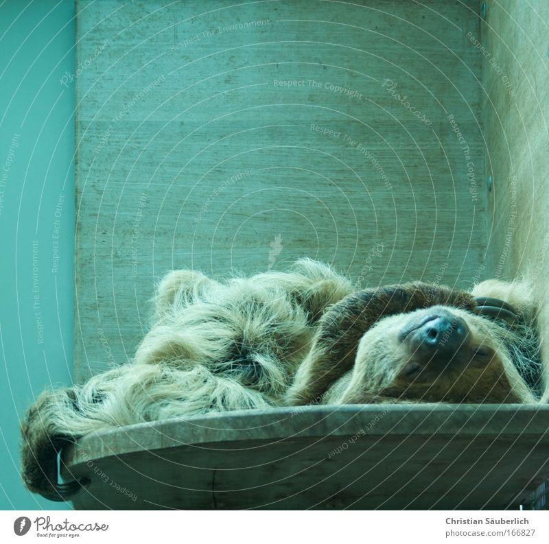 Das Leben ist schön Farbfoto Innenaufnahme Textfreiraum oben Kunstlicht Totale geschlossene Augen Tier Wildtier Zoo Faultiere 1 alt Fitness genießen schlafen