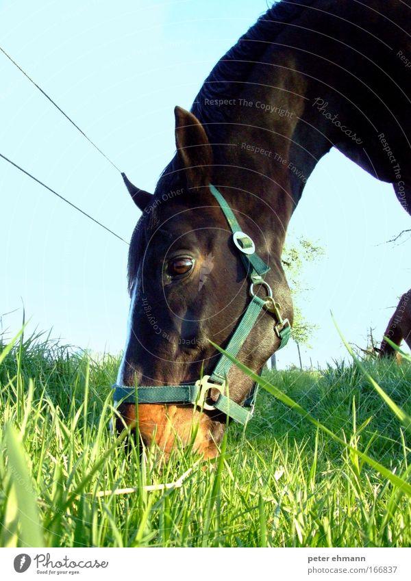 Färt Natur blau grün schön Tier ruhig Ernährung Glück braun Zufriedenheit glänzend natürlich groß frisch Wachstum Pferd