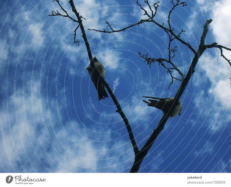 Schwalbenbäuche Himmel Natur blau weiß Baum Erholung ruhig Wolken Tier Holz Freiheit Vogel oben Zusammensein Freundschaft Luft