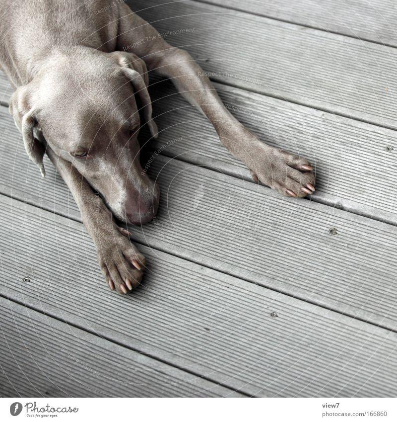 Päuschen Tier Hund 1 Erholung genießen liegen schlafen träumen Traurigkeit einfach grau Gelassenheit geduldig ruhig Weimaraner Jagdhund Pfote Schnauze Farbfoto