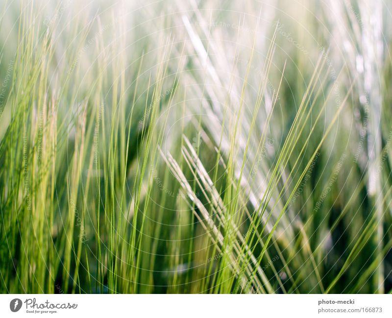 grünes gras Natur Frühling Pflanze Gras Wiese frisch weiß Farbfoto Außenaufnahme Detailaufnahme Kontrast Unschärfe Schwache Tiefenschärfe Halm Tag