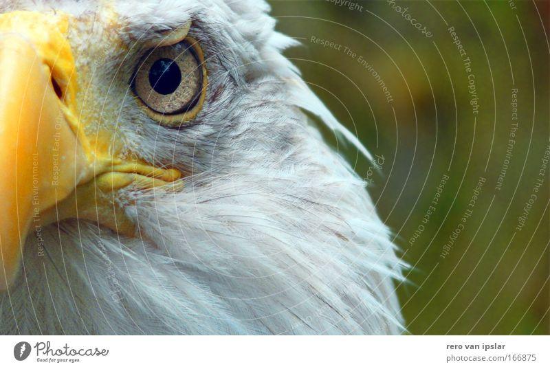 sam Tier Vogel glänzend bedrohlich Wachsamkeit Selbstständigkeit Überwachung Auge Adleraugen