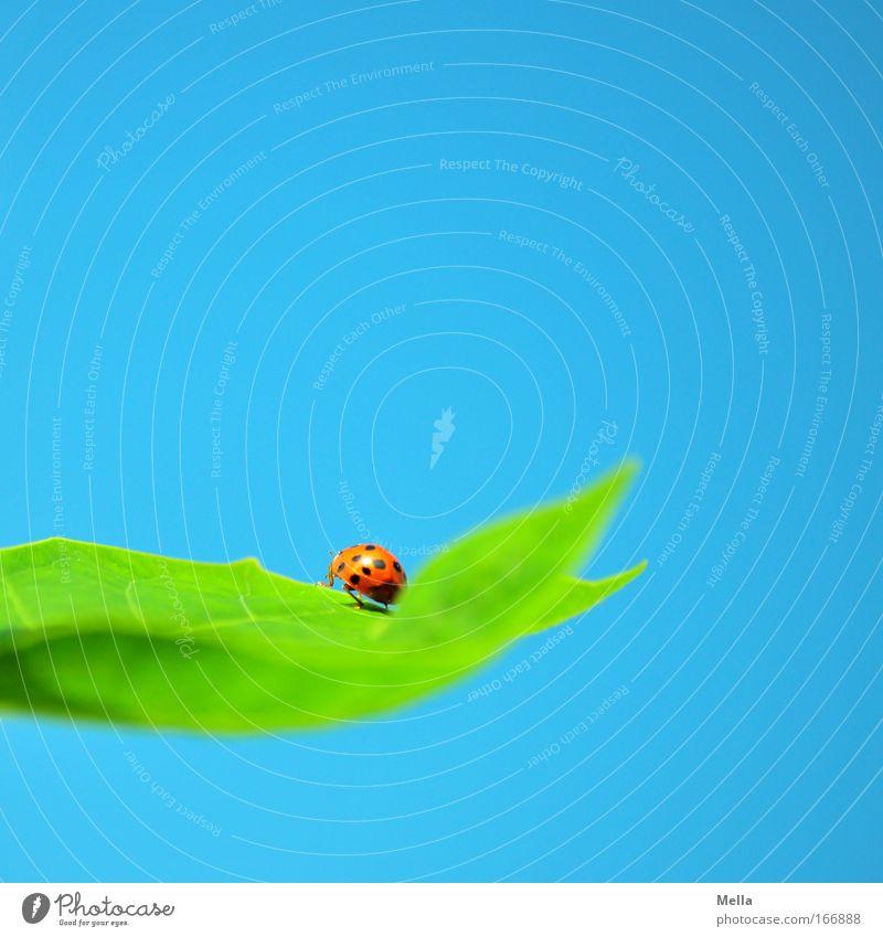 Viel Glück! Umwelt Natur Wolkenloser Himmel Pflanze Blatt Tier Käfer Marienkäfer 1 sitzen natürlich blau grün Glücksbringer gepunktet Farbfoto mehrfarbig