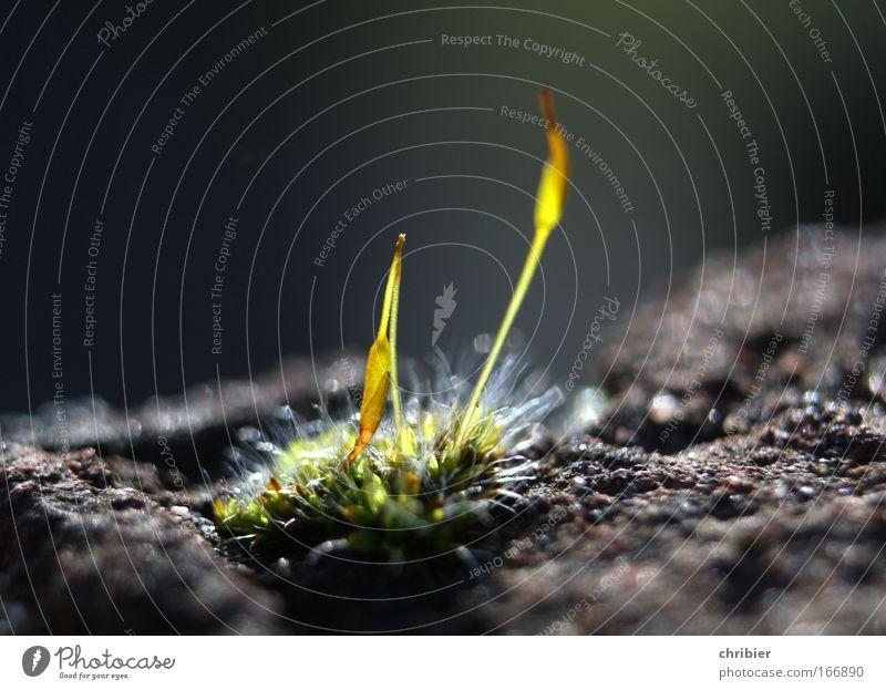Geburtstags - Dorit !!! Nahaufnahme Makroaufnahme Lichterscheinung Sonnenstrahlen Schwache Tiefenschärfe Pflanze Frühling Moos Menschenleer Mauer Wand Backstein