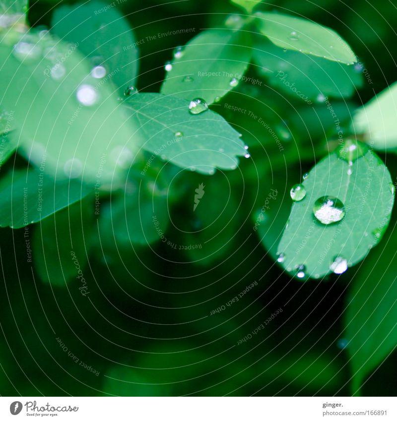 °°100°° Regenperlchen Umwelt Natur Landschaft Pflanze Wasser Frühling Wetter Sträucher Blatt Grünpflanze Tropfen nass grün silber Wachstum Zacken frisch